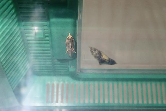 スジグロシロチョウ、羽化の兆しあり