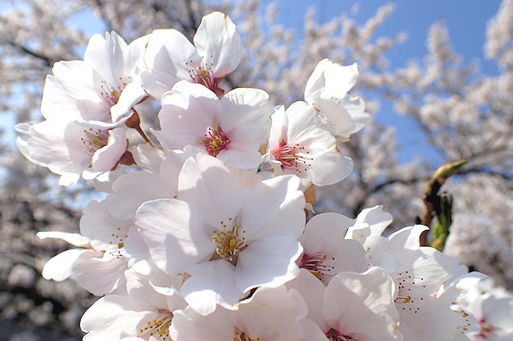 桜満開、春爛漫。