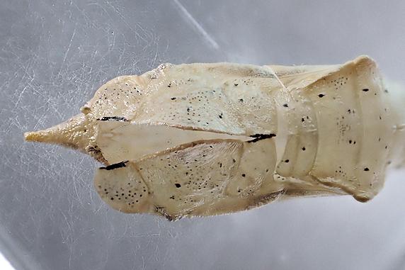 スジグロシロチョウが羽化