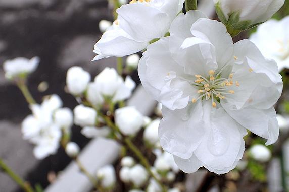 花桃もうすぐ満開