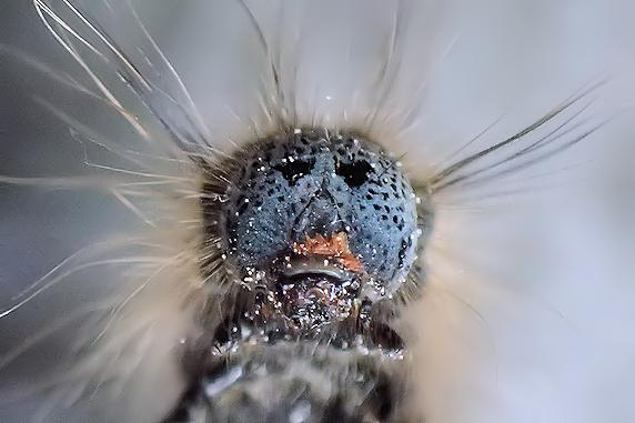 オビカレハの幼虫