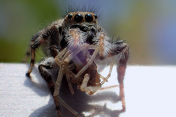 ハナグモを捕食するネコハエトリ