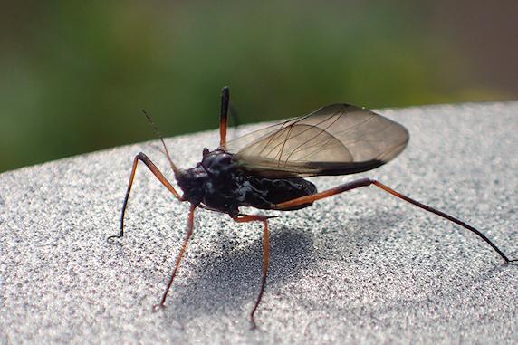 オオアブラムシのなかま 有翅型
