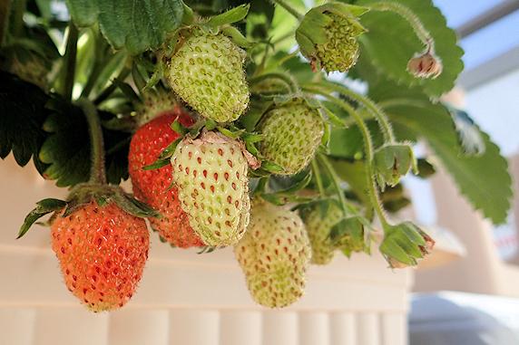 もうすぐ収穫四季なりイチゴ