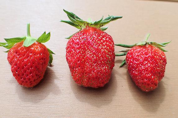 四季なりイチゴ今季収穫始まる