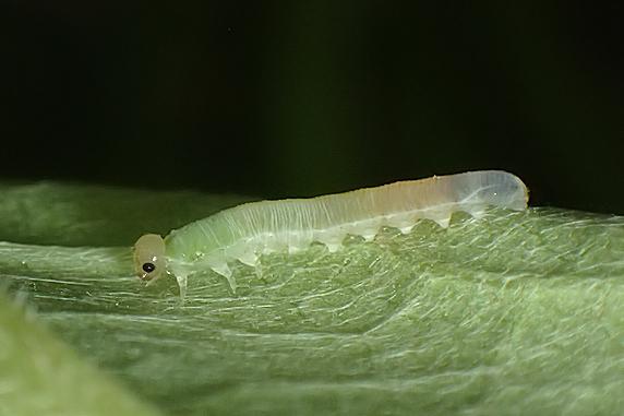 フキの葉を食べるハバチの幼虫