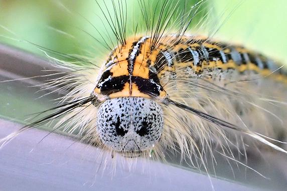 オビカレハの幼虫のその後