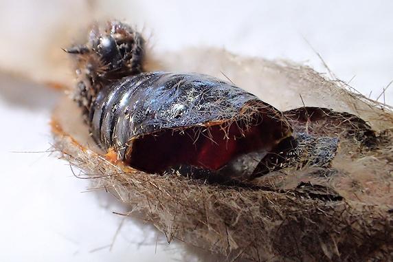 保護中のサナギが羽化