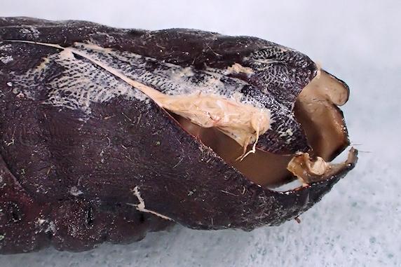 モモスズメのサナギの抜け殻