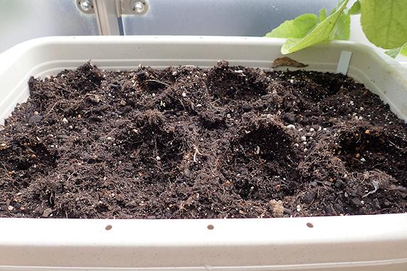 小カブとスナップエンドウの収穫