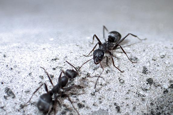 アリのけんか