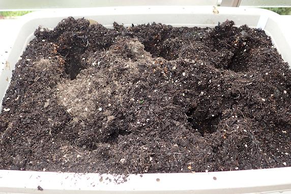 ミニ大根の収穫