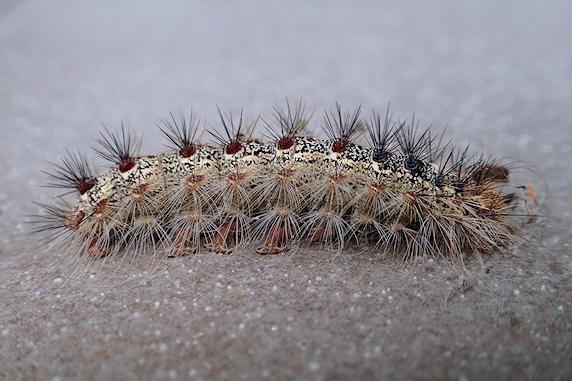 マイマイガの終齢幼虫を保護