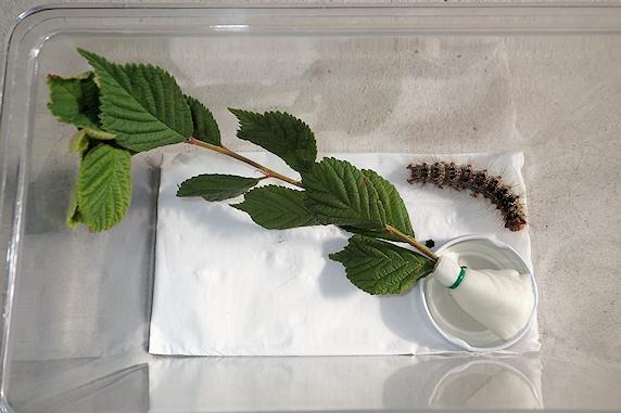 マイマイガ終齢幼虫の蛹化