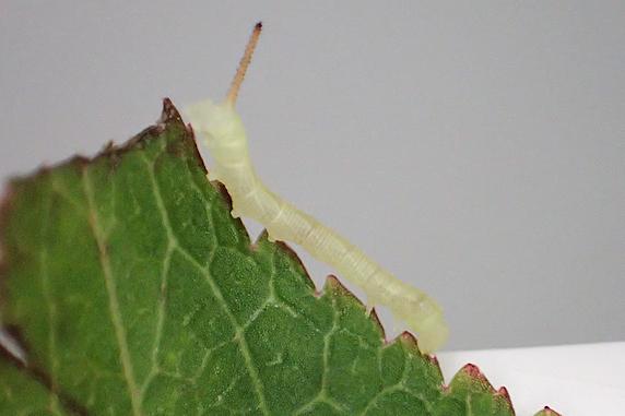 スズメガの幼虫が孵化