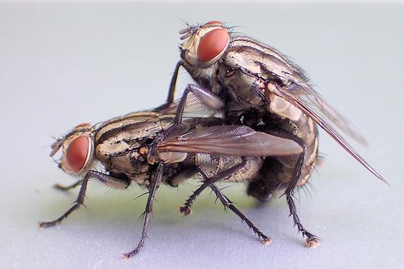 ハエのカップル