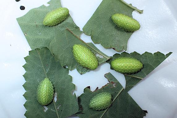 ウスムラサキイラガの幼虫発見
