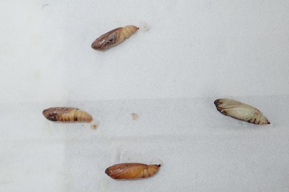 ミツモンキンウワバの羽化 その2
