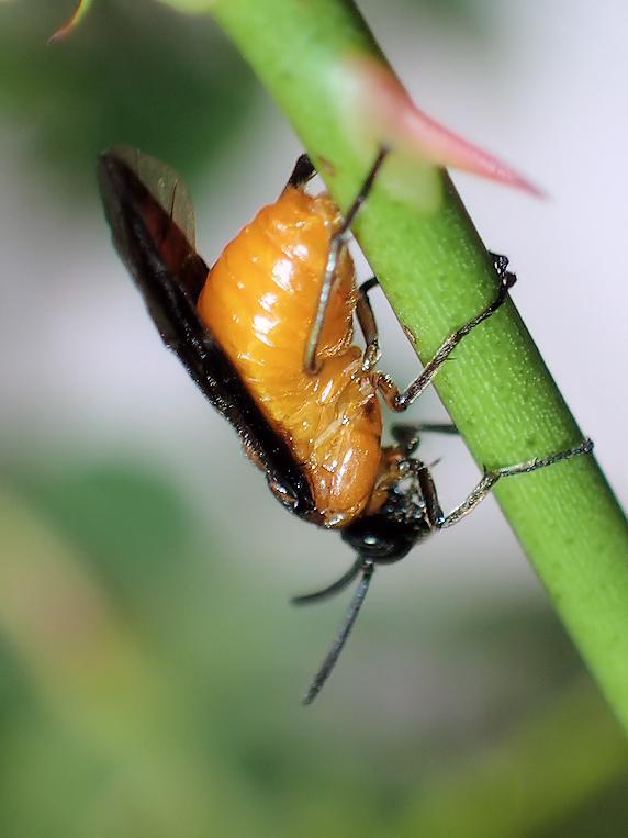 毎年恒例アカスジチュウレンジの産卵