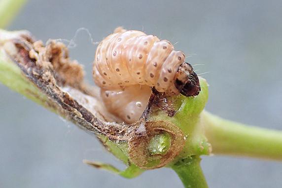 インゲンの茎を食害するアズキノメイガの幼虫