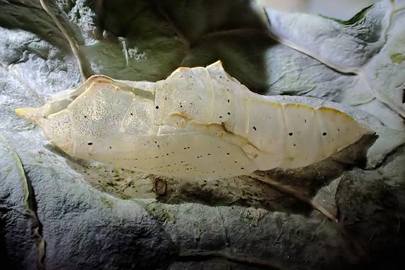 モンシロチョウの羽化