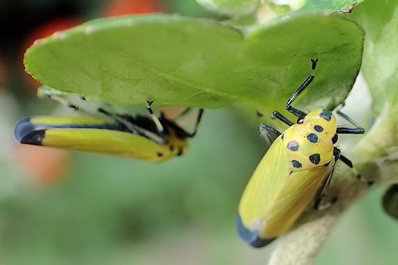秋のツマグロオオヨコバイ