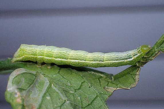 ミニトマトで育ったエゾギクキンウワバの幼虫