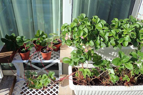 四季成りイチゴの孫株準備