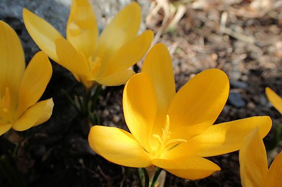 クロッカス開花