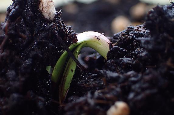 ヒマワリ発芽