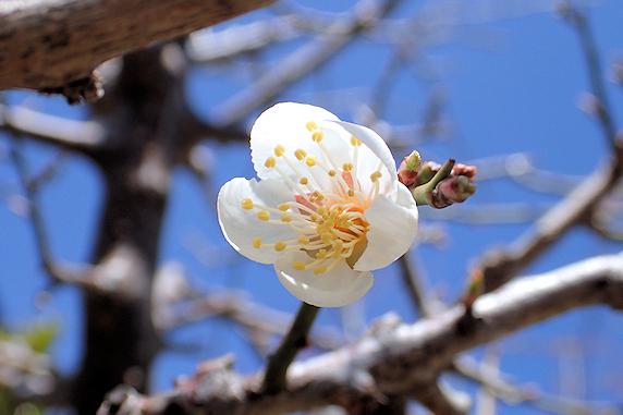 今年も実生小梅が開花