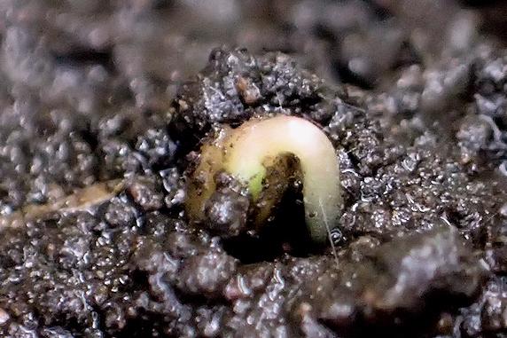 発芽直後の土寄せの必要性