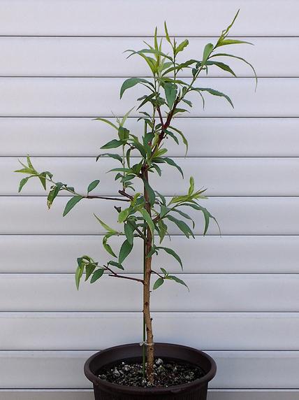 すごい生長の桃
