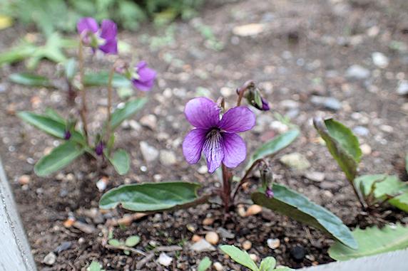 越冬成功のスミレが開花