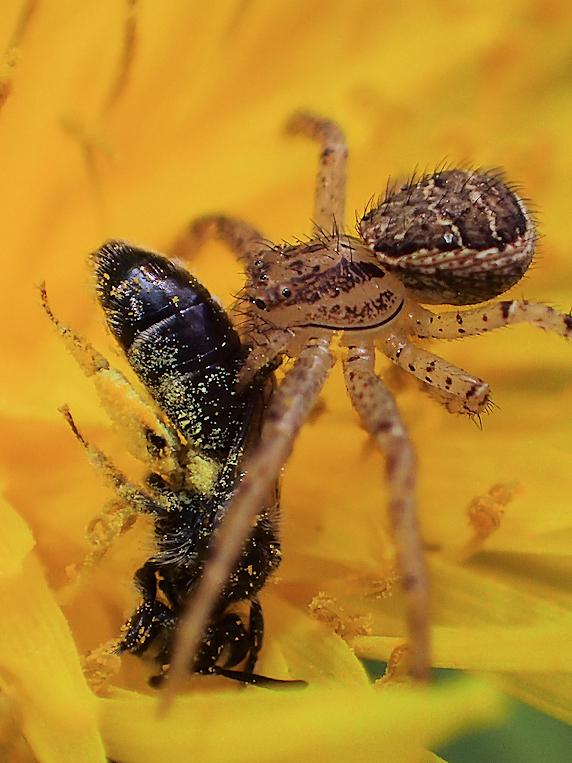 ハチを捕らえたカニグモ
