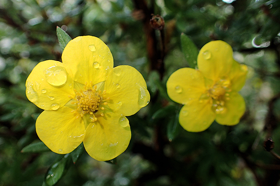 キンロバイ開花