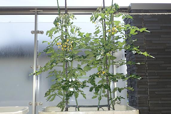 花も満開ミニトマト