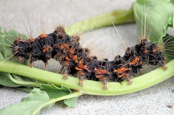 ワレモコウにドクガの幼虫発見
