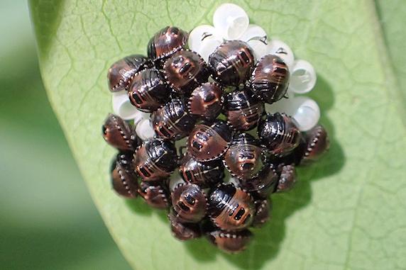 ライラックでもカメムシの卵が孵化