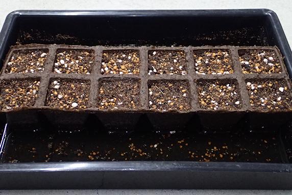 ホウレンソウの種蒔き