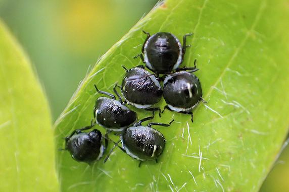 クサギカメムシの幼虫が移動開始