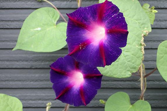 今年もマルバアサガオ開花