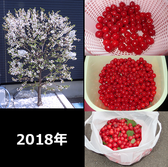 ユスラウメ収穫量の比較