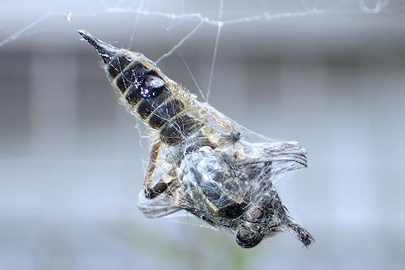 アブを捕食するオニグモ