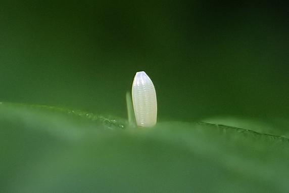 小カブにチョウが産卵!