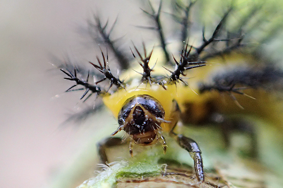 今年もニジュウヤホシテントウの幼虫