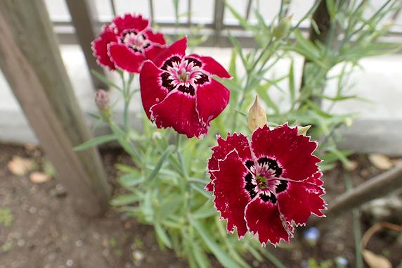 野原風花壇でナデシコ開花