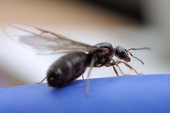 アリの結婚飛行の現実