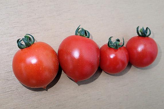 ミニトマト今季初収穫