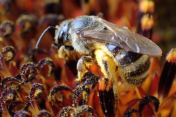 花粉を集めるミツバチ